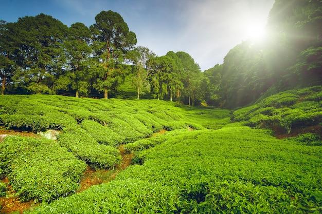 Plantación de té en malasia