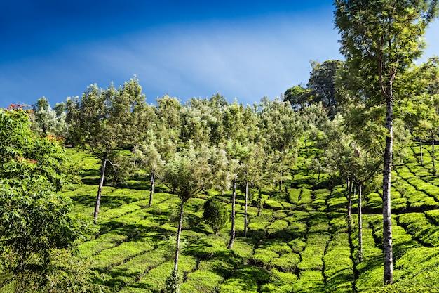 Plantación de té en munnar