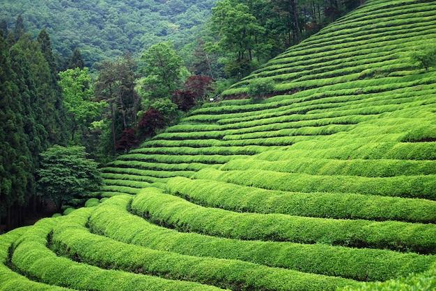 Plantación de té en el sudeste asiático