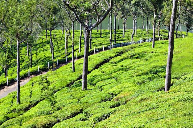 Plantación de té