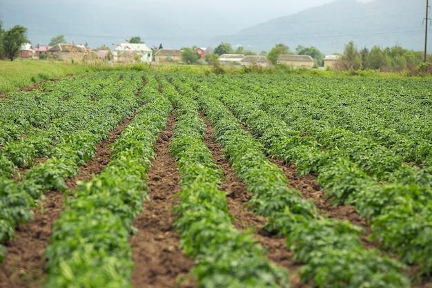 Plantación verde con cosecha en el pueblo.