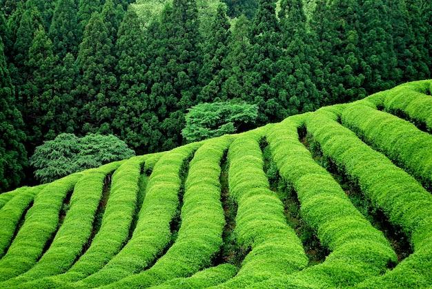 Plantación verde de té en el sudeste asiático