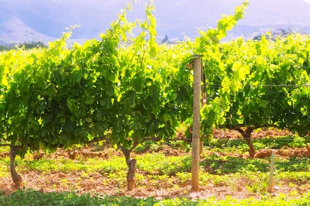 Plantación de viñedos en un día soleado