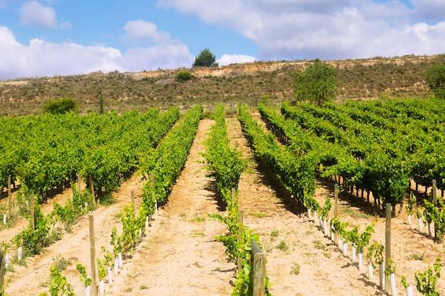 Plantación de viñedos