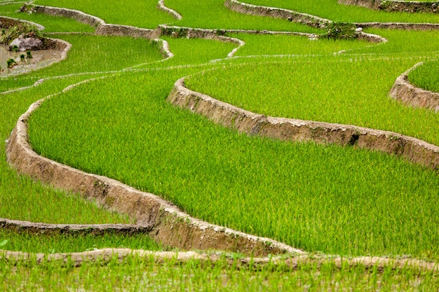 Plantaciones de arroz. vietnam