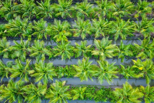 Plantaciones de palma aceitera o campo de coco verde industria agrícola granja en tailandia