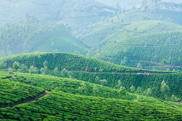 Plantaciones de té verde en munnar, kerala, india