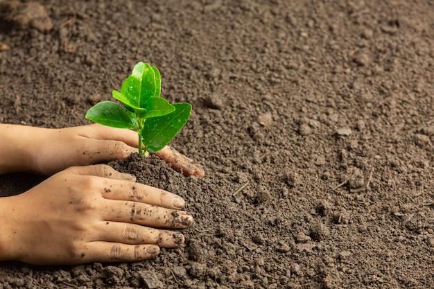 Plantando plántulas en el suelo a mano.