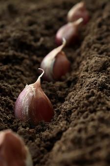 Plantar ajo en el suelo en primer plano de las filas. el concepto de plantación otoñal de hortalizas por agricultores, agricultura ecológica.