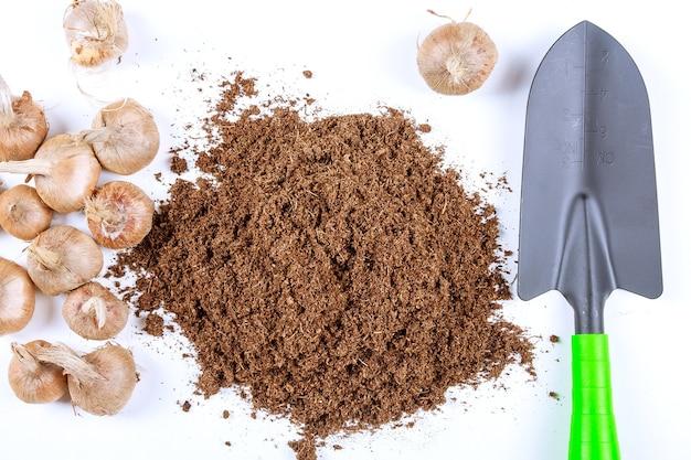 Plantar bulbos de azafrán en el suelo.