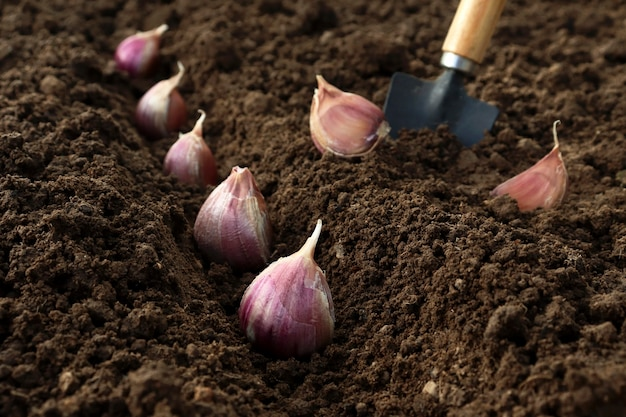 Plantar y cultivar ajo en el suelo en las camas por el método de la línea en otoño o primavera