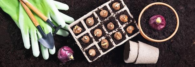 Plantar flores de primavera. herramientas de jardinería con bulbos de jacinto y azafrán sobre fondo de textura de suelo fértil. vista superior, banner.