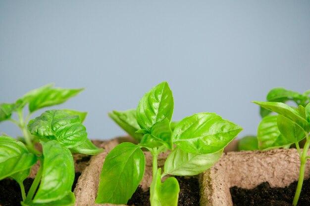 Plantar plántulas en invernadero en primavera