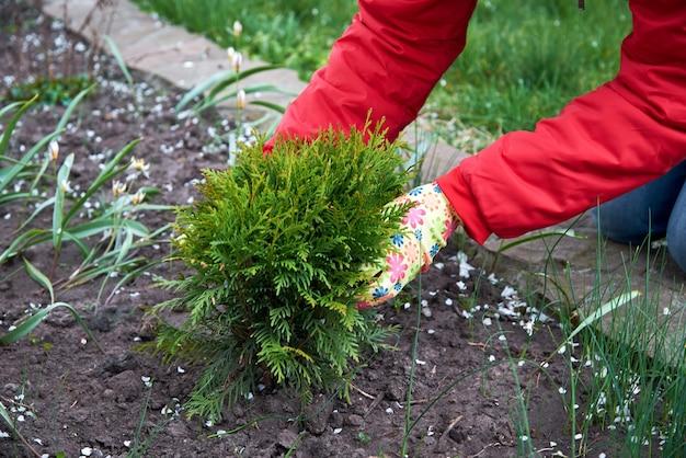 Plantar plántulas en el jardín.