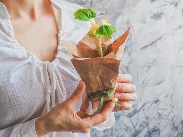 Plantar plántulas de pepinos en el suelo. plántulas de pepino antes de plantar.