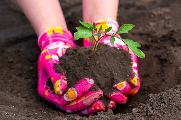 Plantar plántulas de tomate