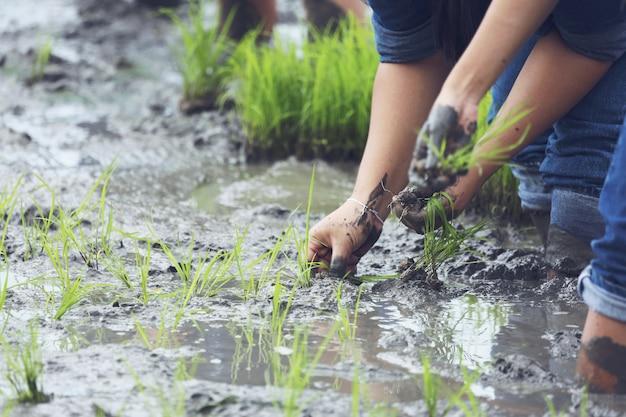 Plantar en las tierras de cultivo de arroz orgánico.