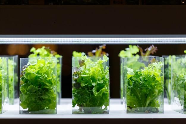 Plantas acuáticas de lechuga de roble verde en una sala de cultivo de tejidos