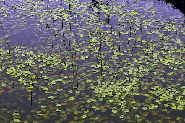 Plantas acuáticas verdes flotando en un pantano.