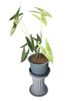 Plantas de alocasia longiloba con troquelado granular redondo marrón en blanco aislado