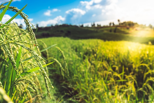 Plantas de arroz cerca de la temporada de cosecha y arrozales que se cultivan en montañas altas