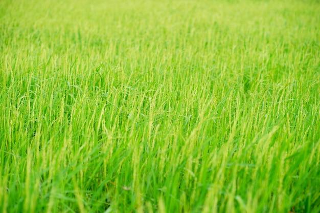 Plantas de arroz verde en el campo