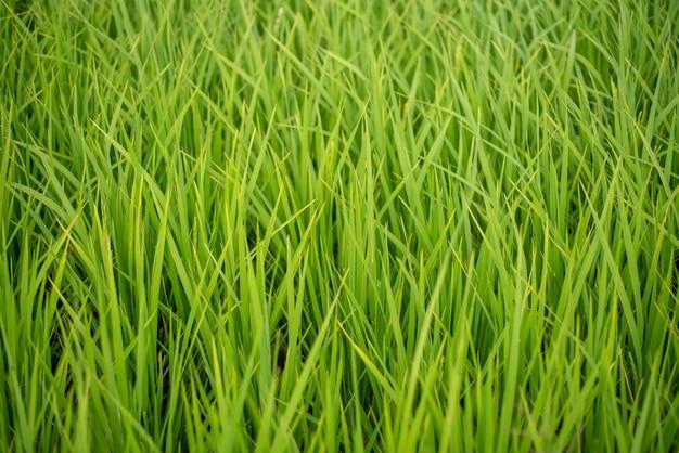 Plantas de arroz verde en los campos.