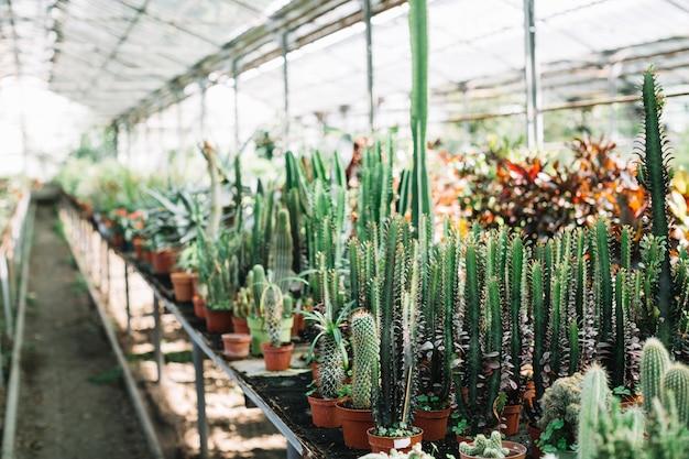 Plantas de cactus que crecen en invernadero