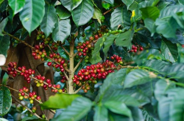 Plantas de café con granos de café.