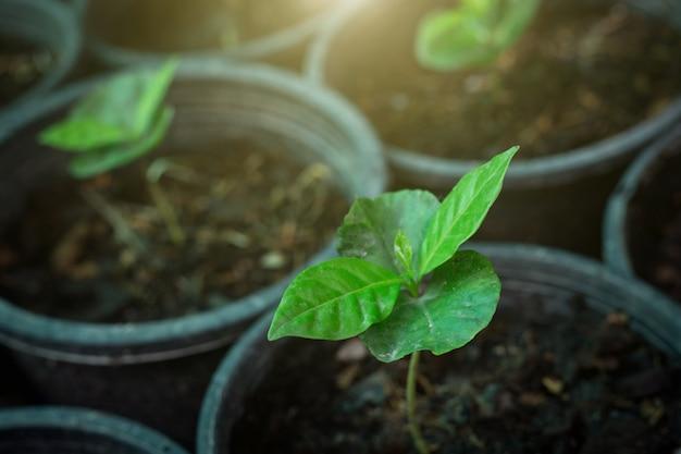 Plantas de café jóvenes