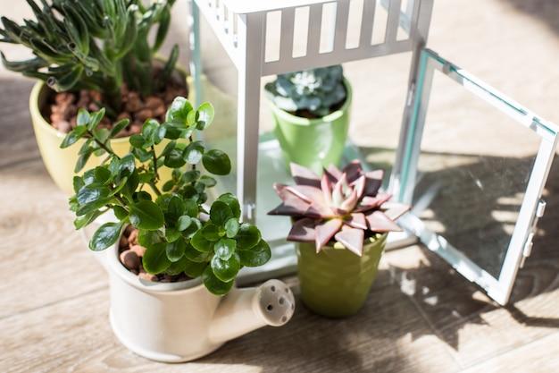 Plantas de la casa. suculentas