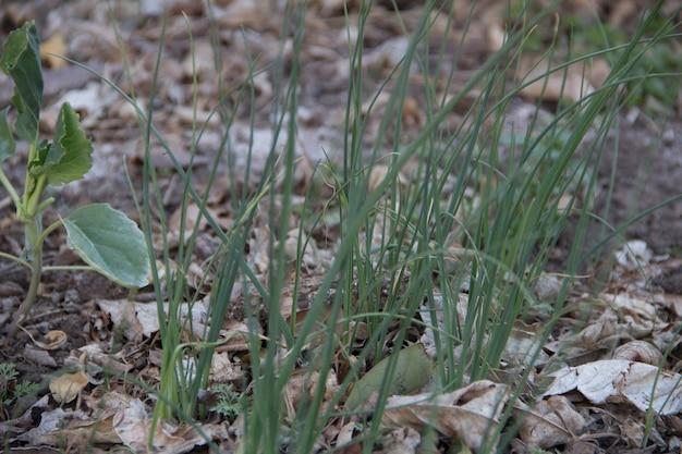 Plantas de cebolla jóvenes en el jardín de otoño orgánico