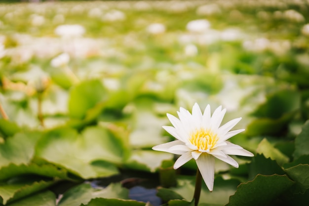Plantas de la flor de loto y flor de loto en la charca, tailandia.