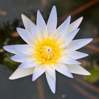 Plantas de flores de loto