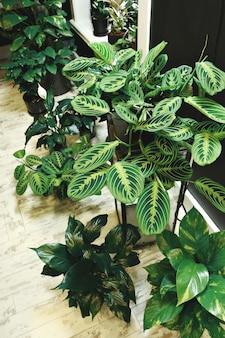 Plantas de interior en macetas de calathea