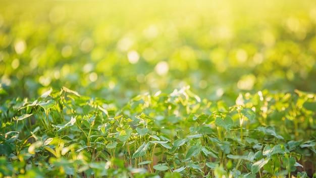 Las plantas jovenes del alforfón encendieron el sol en campo. cultivo de trigo sarraceno para la apicultura y la producción de gachas.