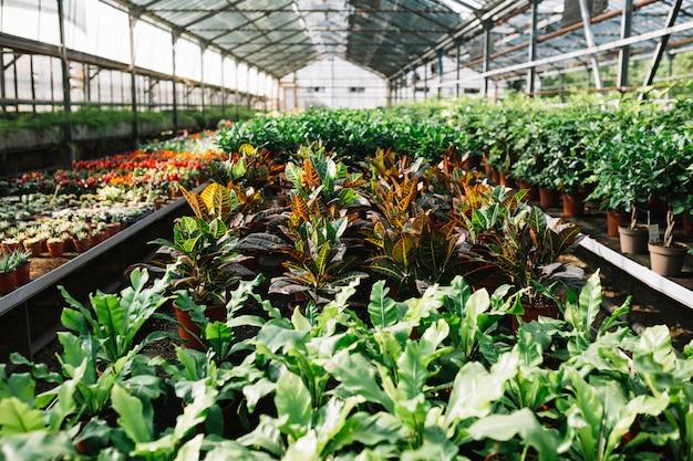 Plantas en maceta que crecen en invernadero