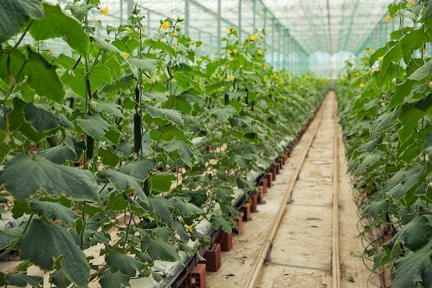 Plantas de pepino que crecen en un invernadero con camino estrecho para caminar.