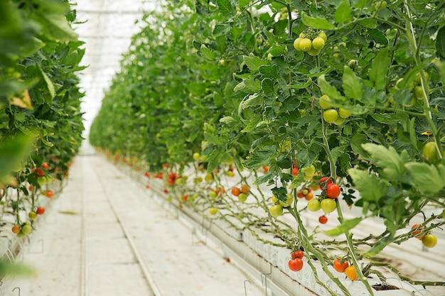 Plantas de tomate que crecen dentro de un invernadero con caminos estrechos blancos y con cosecha de colofrul.