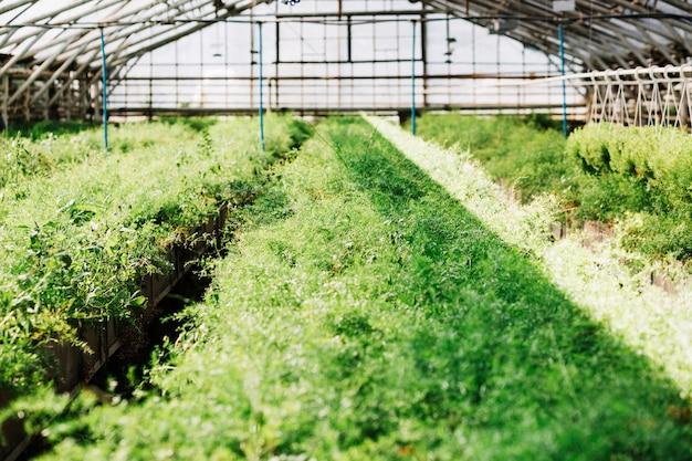 Plantas verdes frescas que crecen en invernadero