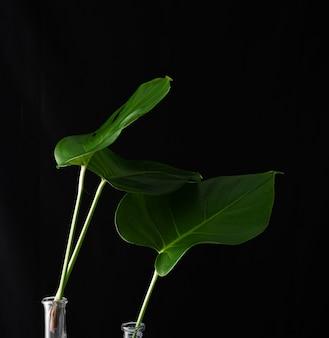 Plantas verdes de monstera