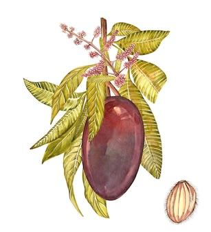 Plantilla de diseño vintage de árbol de mango. acuarela ilustración botánica. mango fruitlooking en los estantes