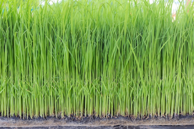 Plantío de plantones de arroz