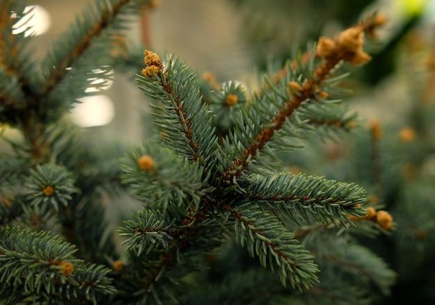 Plantones de pino, abeto, abeto, secuoya y otras coníferas en macetas en vivero de plantas.