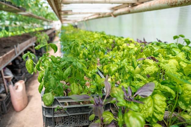 Plántulas de albahaca en un invernadero en una granja orgánica