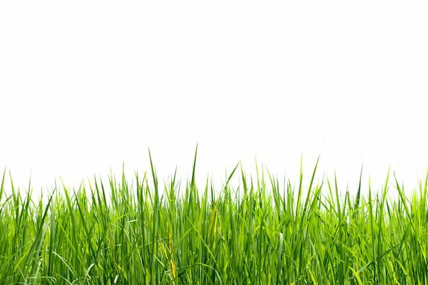 Las plántulas de arroz verde están creciendo sobre un fondo blanco.