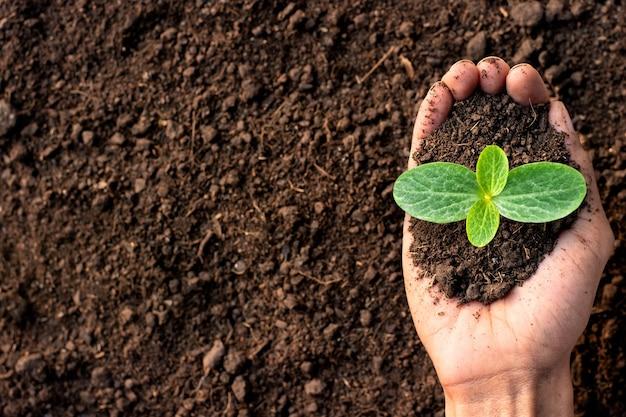 Las plántulas de calabaza están creciendo en manos de un agricultor.