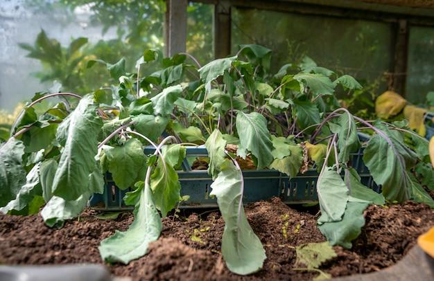 Plántulas de colinabo en un invernadero en la granja