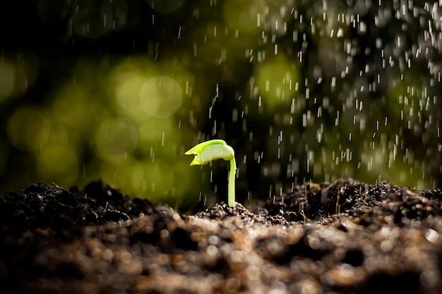 Las plántulas crecen en el suelo, mientras lloviznaba.