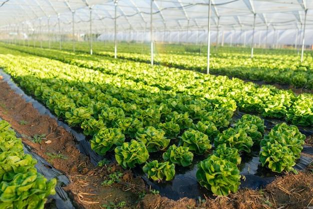 Plántulas de lechuga orgánica fresca en invernadero al aire libre
